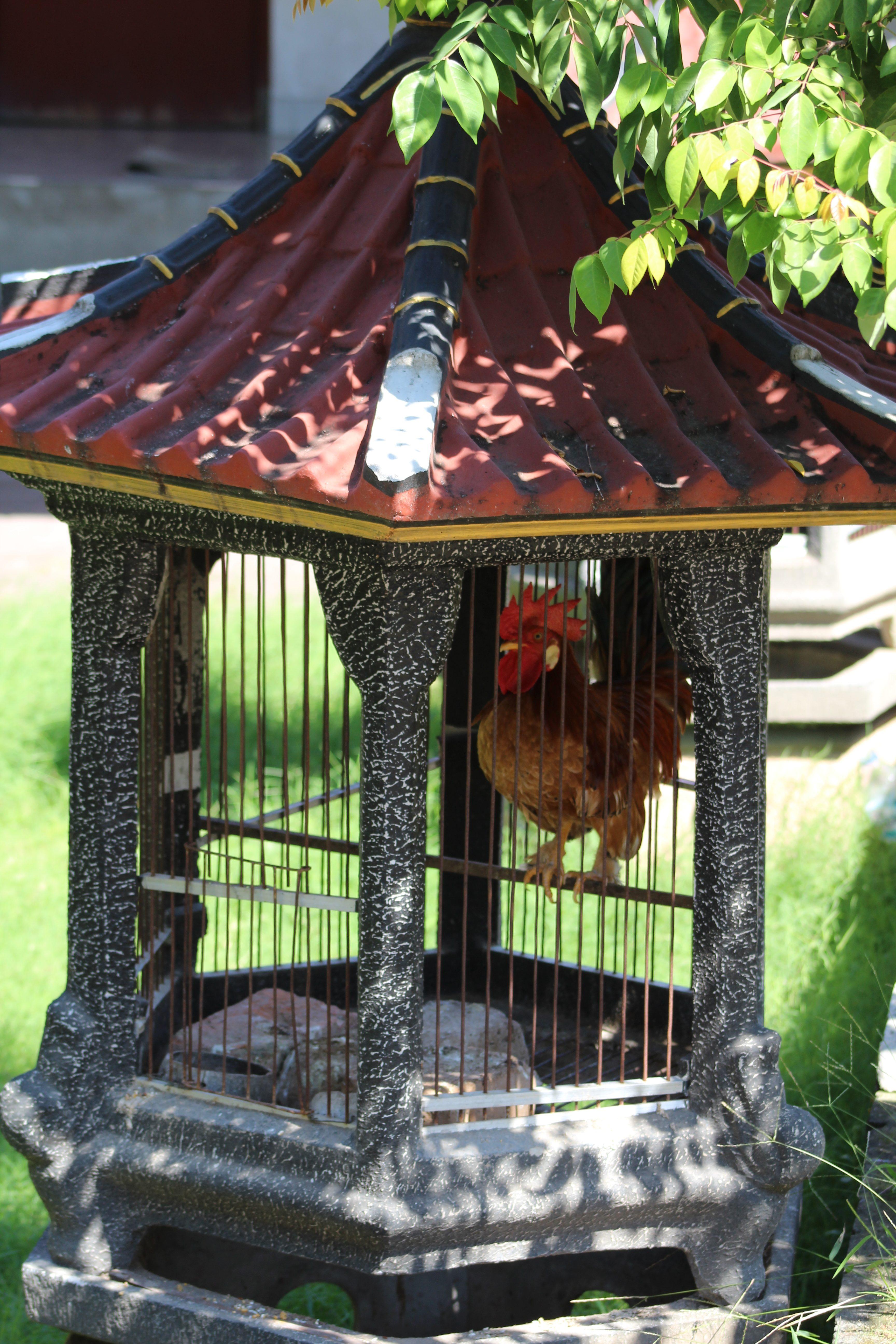 Cockerel in a cage
