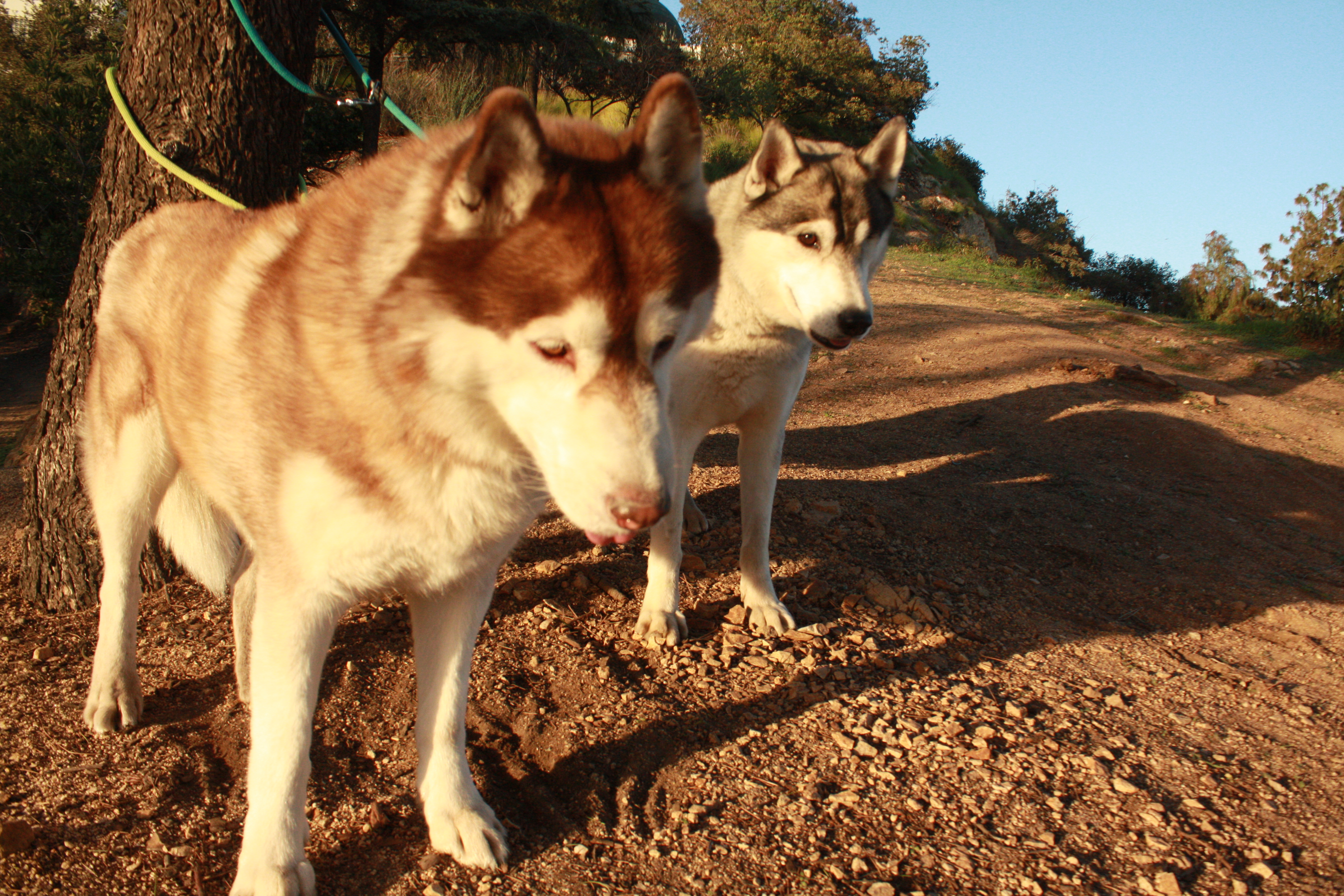 Red & Grey the Huskies